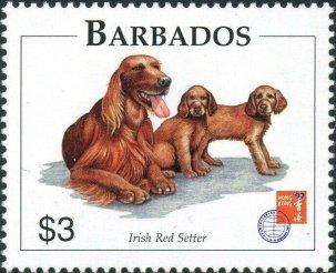 Barbados - Irish Red Setter
