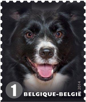 Belgium Border Collie